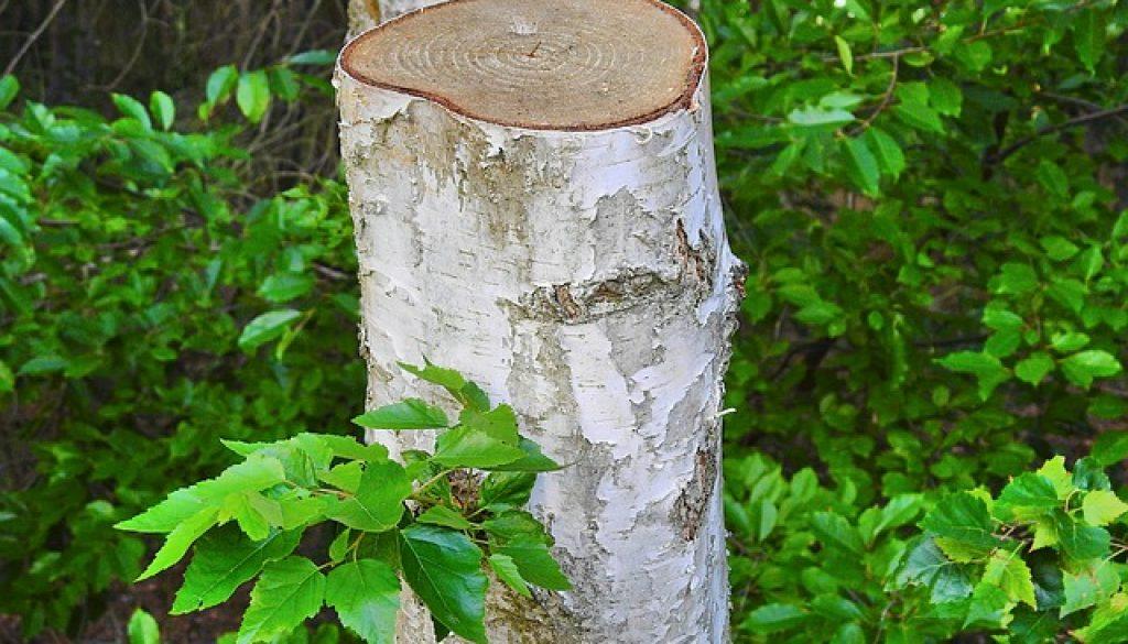 trimmed-birch-3658369_640